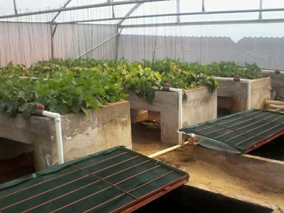 Beand-in-the-Aquaponics-Randvaal-2016
