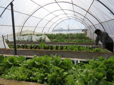 CDW-lettuce